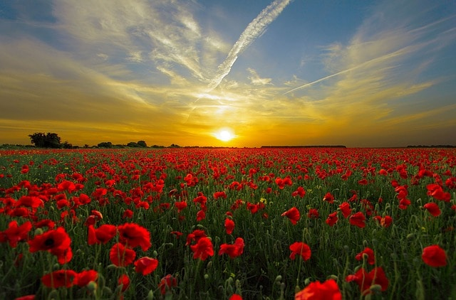 "alt=""Pixabay image of a sunset over a field of red flowers"""